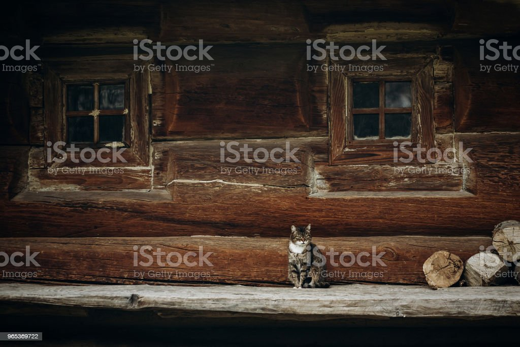 Cute grey cat sitting near old wooden house in Scandinavia, norwegian national park, domestic cat on rustic wood cottage background royalty-free stock photo