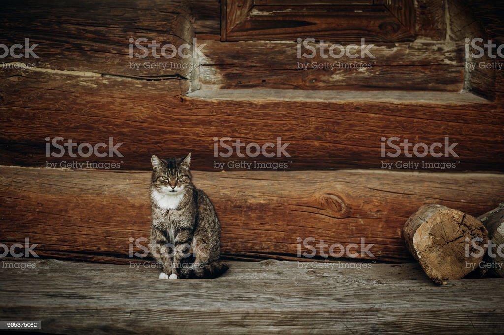 소박한 나무 오두막 배경에 스칸디나비아, 노르웨이 국립 공원, 국내 고양이 오래 된 나무로 되는 집 근처에 앉아 귀여운 회색 고양이 - 로열티 프리 0명 스톡 사진