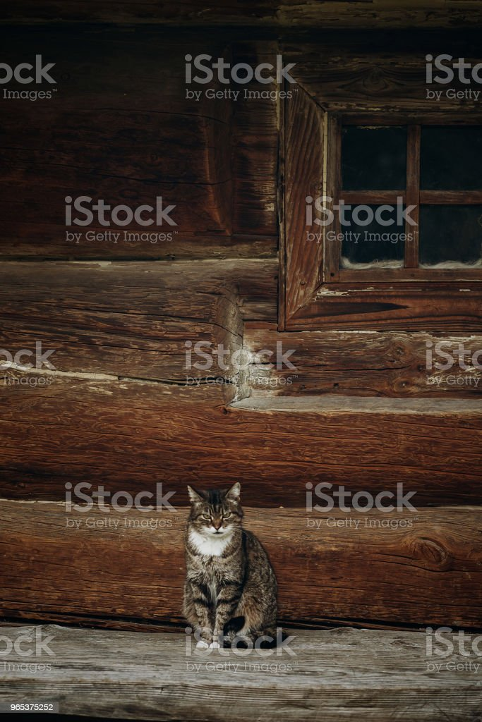 Cute grey cat sitting near old wooden house in Scandinavia, norwegian national park, domestic cat on rustic wood cottage background zbiór zdjęć royalty-free