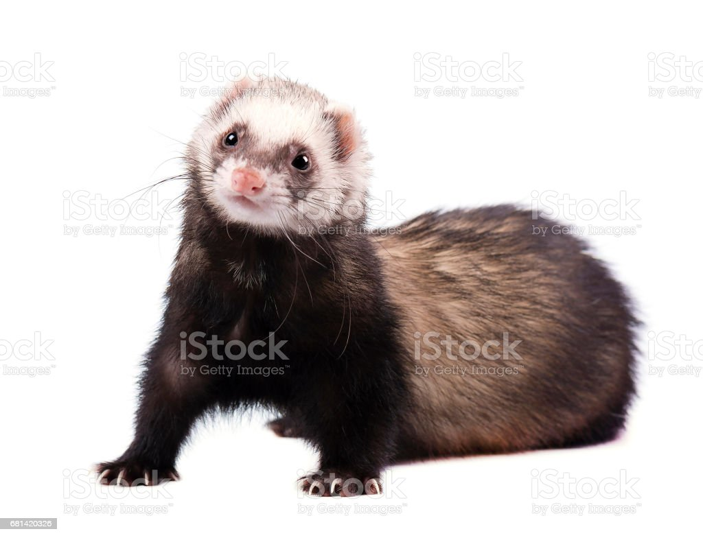 Cute grey ferret in full growth lies isolated stock photo
