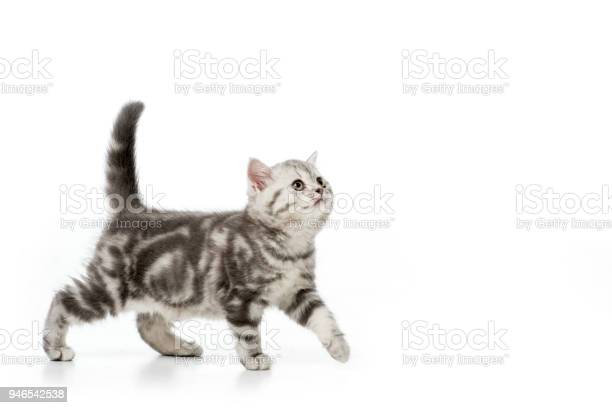 Cute grey fluffy kitten walking and looking up isolated on white picture id946542538?b=1&k=6&m=946542538&s=612x612&h=po3vlg aaq4czayblbr0vcen5nfwfzl6dehrrabwkie=