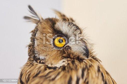 istock Cute grey owl, petting zoo. 1021028864