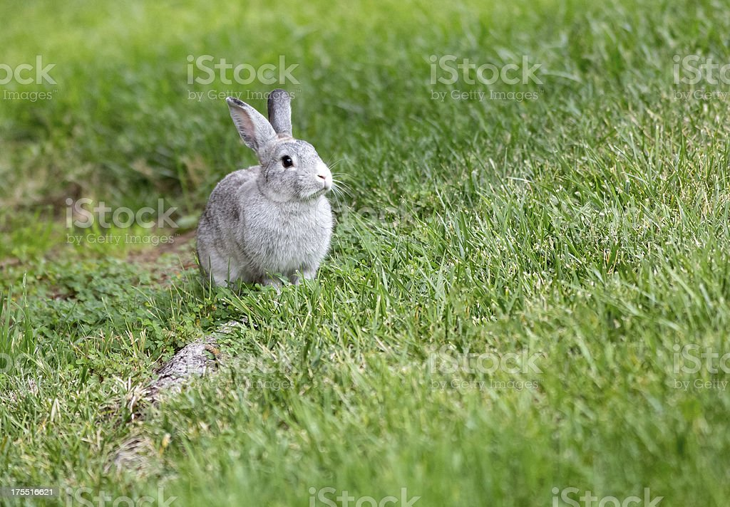 Cute grey rabbit in a field of grass royalty-free stock photo