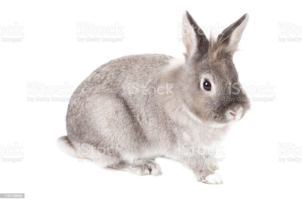 Cute grey rabbit on white royalty-free stock photo