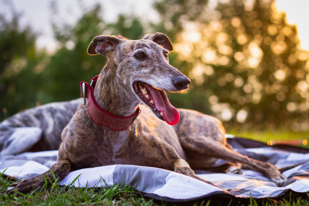 Cute greyhound is resting at blanket outdoors. stock photo