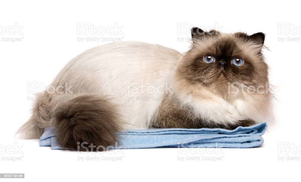 Cute groomed persian seal colourpoint cat on a blue towel royalty-free stock photo