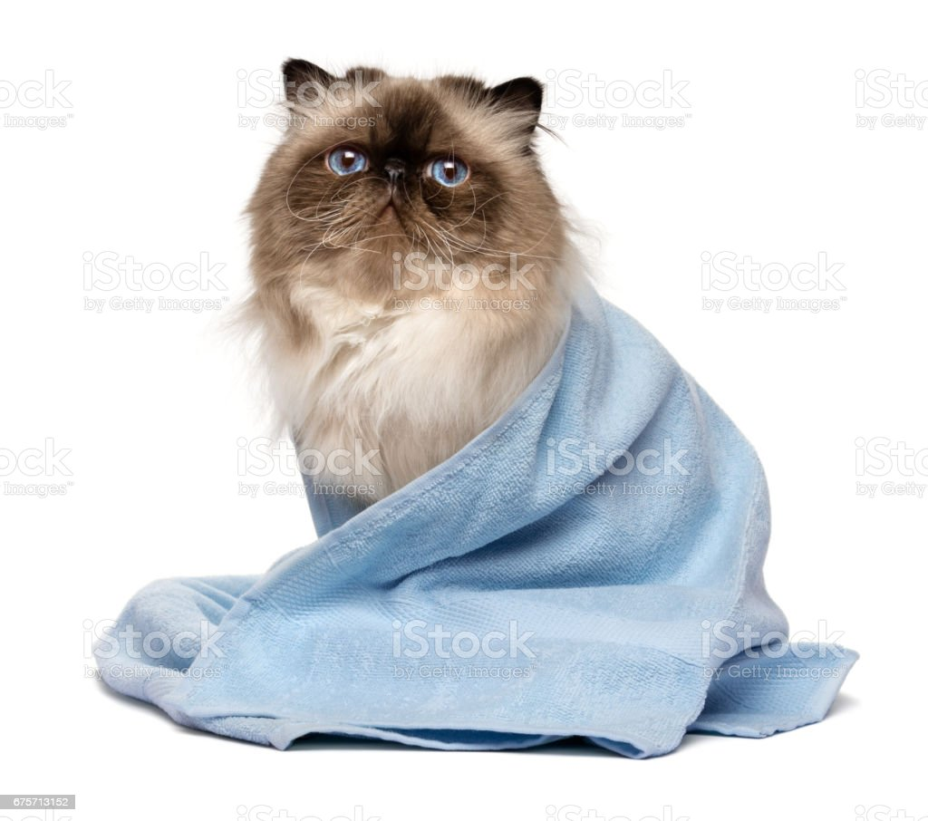 Cute groomed persian seal colourpoint cat with a blue towel 免版稅 stock photo