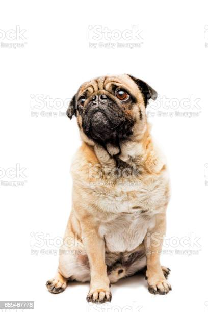Cute grumpy pug posing for the camera picture id685467778?b=1&k=6&m=685467778&s=612x612&h=ojb  qjfzt0l5t1dld1w ok8ckjlnbbo6bjbklihn3c=