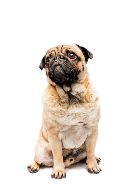 Cute Grumpy Pug Posing For The Camera stock photo