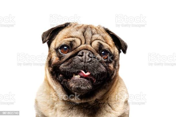 Cute grumpy pug posing for the camera picture id961802740?b=1&k=6&m=961802740&s=612x612&h=oduxcu aii19i1xslpmseimw5giljudq4urcoyaqjdu=