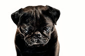 Studio portrait of a cute, very dark brown almost black coloured grumpy Pug who is looking forlornly out of the picture pulling a sad face Photographed against a perfect white background. Colour, horizontal with lots copy space.