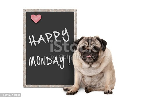 istock cute grumpy pug puppy dog with bad monday morning mood, sitting next to blackboard sign with text happy monday 1126251894