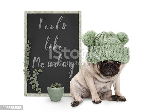 istock cute grumpy pug puppy dog with bad monday morning mood, sitting next to blackboard sign with text feels like monday, isolated on white background 1178383598