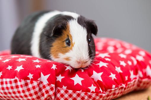 Portrait of cute guinea pig