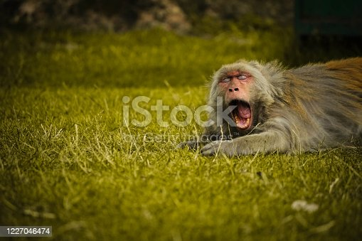 Close-up of a cute monkey lying on the grass for relaxing, vintage retro effect