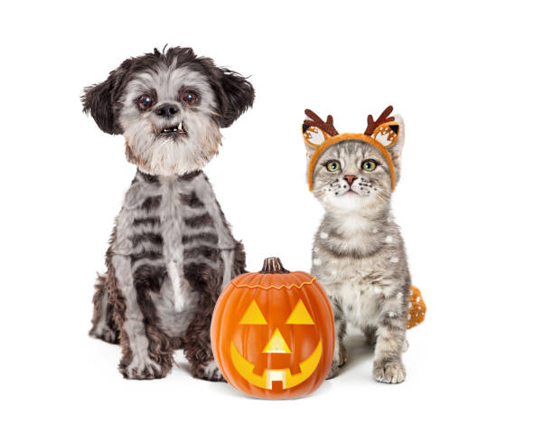 Cute Halloween Dog and Kitten in Costumes Kitten wearing deer costume and small dog with skeleton bones painted on fur together with Halloween pumpkin halloween cat stock pictures, royalty-free photos & images