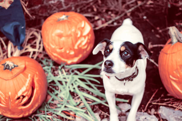 Cute Halloween Dog with Pumpkin Jack o'lantern  looking up with puppy dog eyes stock photo