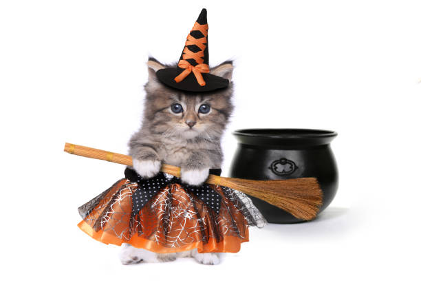 Cute Halloween Witch Themed Kitten Funny Halloween Witch Themed Kitten pet clothing stock pictures, royalty-free photos & images
