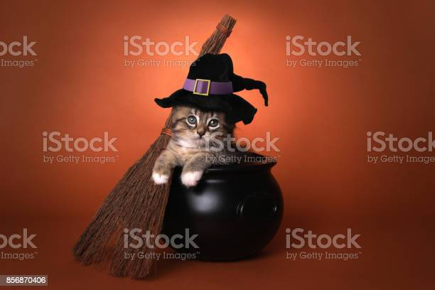 Cute halloween witch themed kitten picture id856870406?b=1&k=6&m=856870406&s=612x612&h= jurmtm5s91yxbjvgzt gacss7ippgqfhjc4a6s n1e=