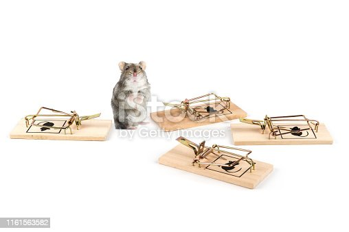 495695633 istock photo cute hamster confused about the whole mousetrap 1161563582