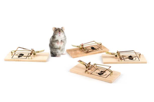niedlichen hamster verwirrt über die ganze mausefalle - maus comic stock-fotos und bilder