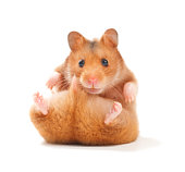 Hamster line icon. Domestic animal, rodent, mammal. Veterinary concept. Vector illustration can be used for topics like pets, animals, zoology
