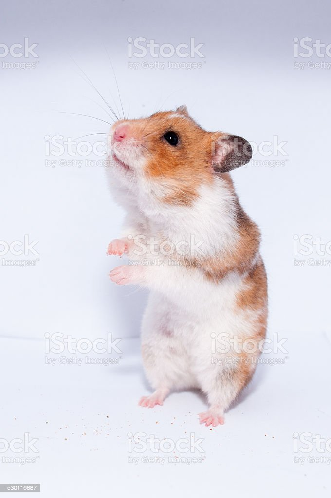 Cute hamster standing up stock photo
