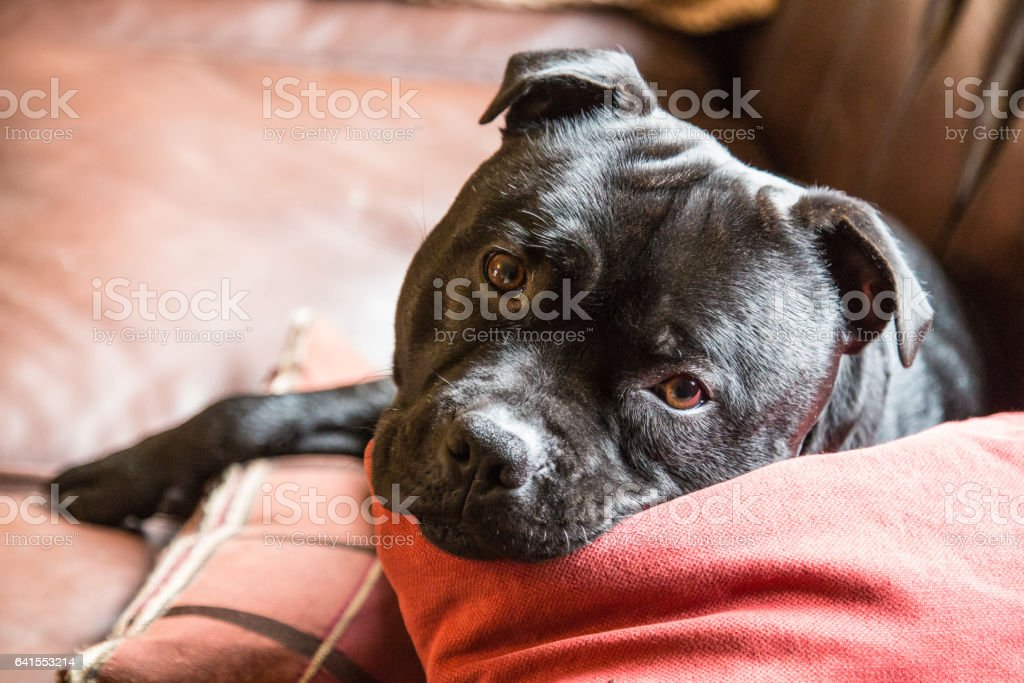 Cute handsome staffordshire bull terrier dog lying on a sofa stock photo