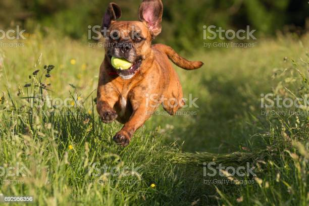 Cute happy dog playing fetch with ball in long grass picture id692956356?b=1&k=6&m=692956356&s=612x612&h=9lwzxabysa7jdt2yvs6c0m8yf f1h1ynoci edngrui=