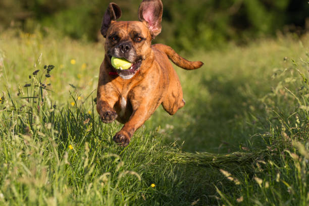 Cute Happy Dog playing fetch with ball in Long Grass stock photo