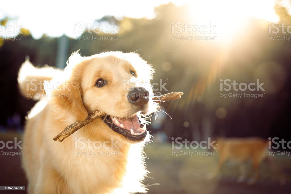 Cute happy dog playing with a stick Dog playing in the park. Animal Stock Photo