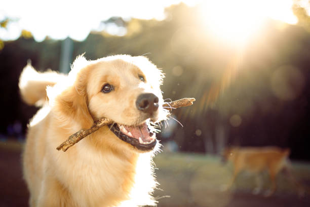 Cute happy dog playing with a stick stock photo