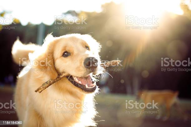 Cute Happy Dog Playing With A Stick Stock Photo - Download Image Now