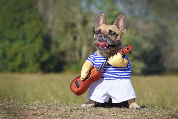 Cute happy French Bulldog dog dressed up as musician wearing a funny costume with striped shirt and fake arms holding a guitar dog costume pet clothing stock pictures, royalty-free photos & images