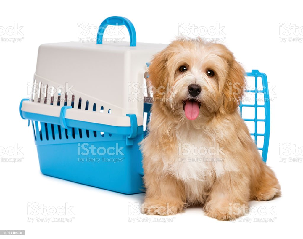 Cute happy havanese puppy is sitting before a crate stock photo