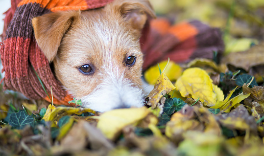 Cute Happy Jack Russell Pet Dog Puppy In The Autumn Leaves — стоковые фотографии и другие картинки Без людей - iStock