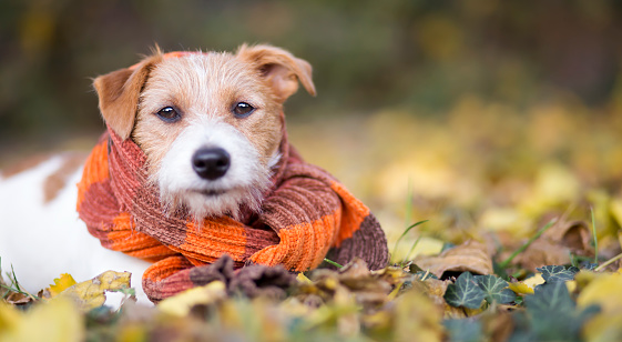 Cute happy jack russell terrier pet dog puppy wearing an orange scarf in the autumn leaves