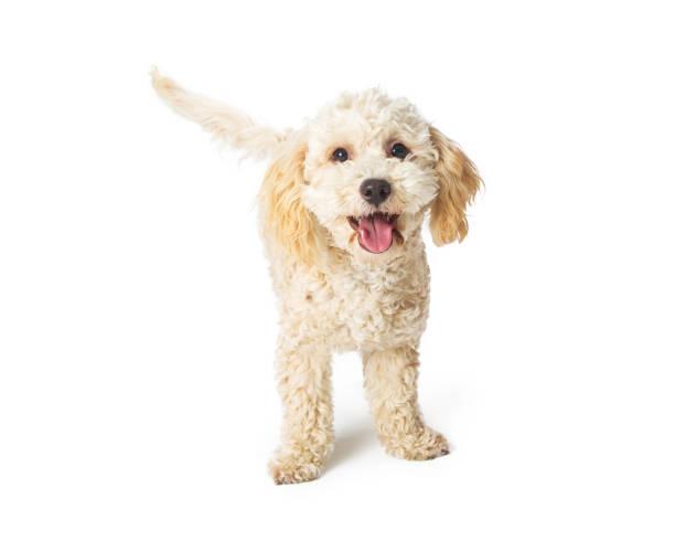 Cute happy poodle crossbreed dog standing picture id959744772?b=1&k=6&m=959744772&s=612x612&w=0&h=zmzsgtyk5rmih9 ldv9nvchsflwhykltysuofybqzqs=