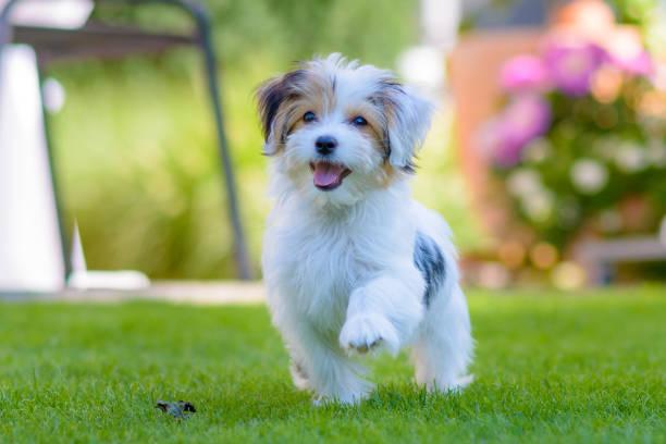 Cute, happy puppy running on summer green grass stock photo