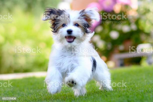 Cute happy puppy running on summer green grass picture id832205806?b=1&k=6&m=832205806&s=612x612&h=0llcojdcz4cv5jkkjiartabhcxs7cn nc4i3k addtu=