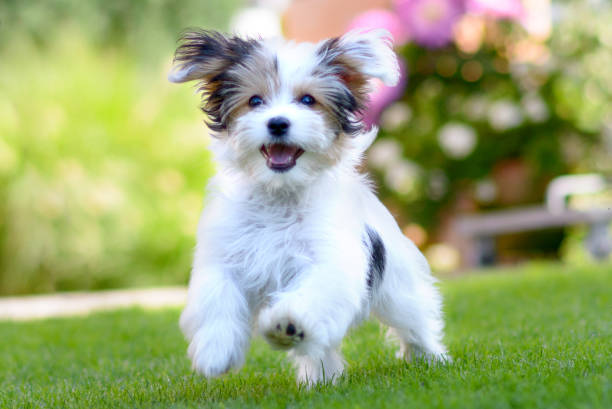 Cute, happy puppy running on summer green grass stock photo
