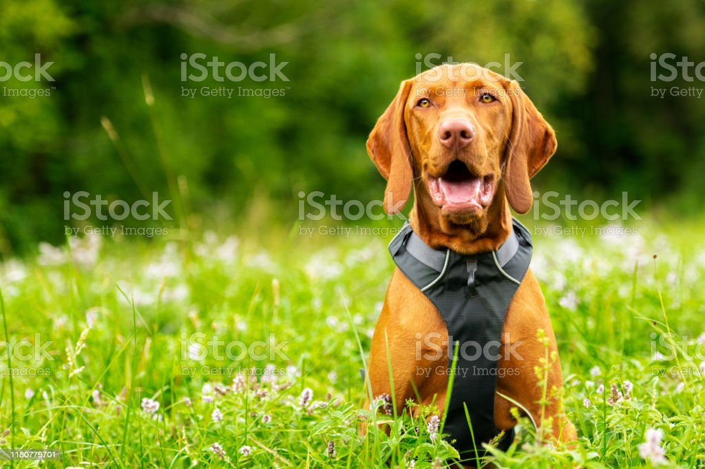 Cute Happy Smiling Vizsla Puppy Enjoying Walk Through Meadow Full Of Flowers Happy Dog Portrait Outdoors Stock Photo Download Image Now Istock