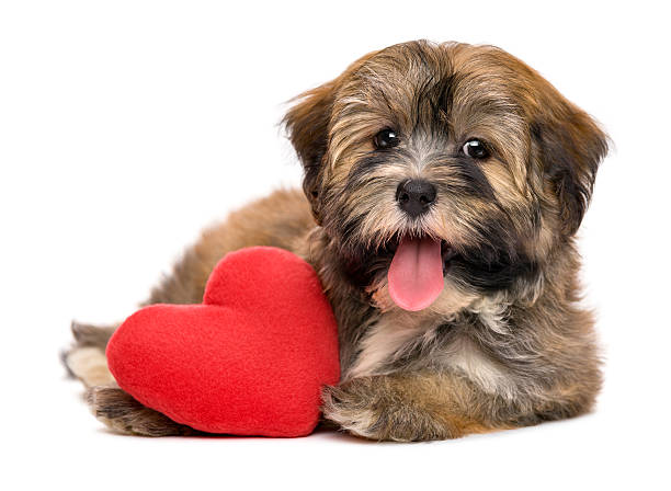 Cute happy valentine havanese puppy dog with a red heart Cute lover happy valentine havanese puppy dog with a red heart, isolated on white background animal valentine stock pictures, royalty-free photos & images