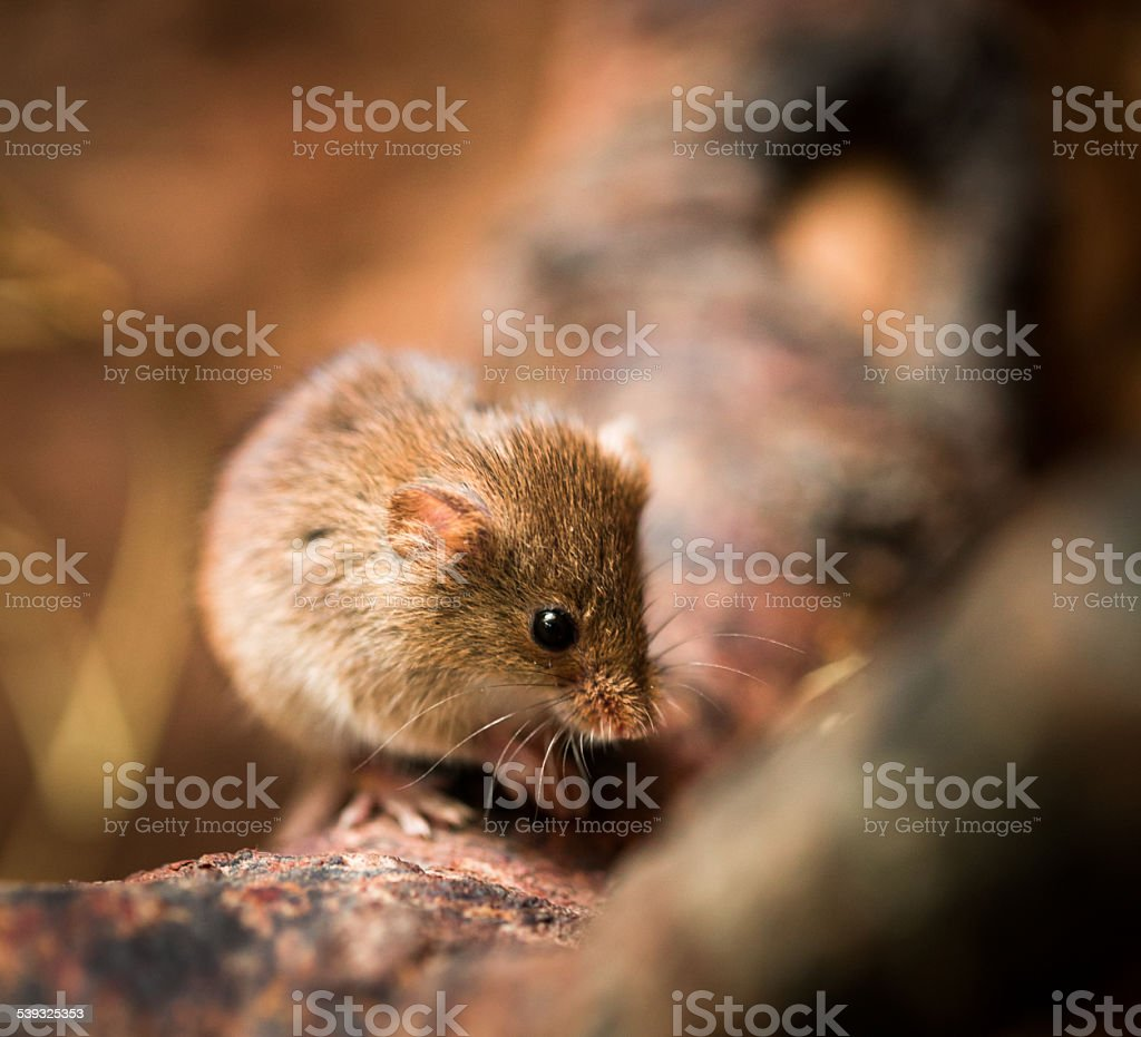 Cute Harvest Mouse macro close up stock photo