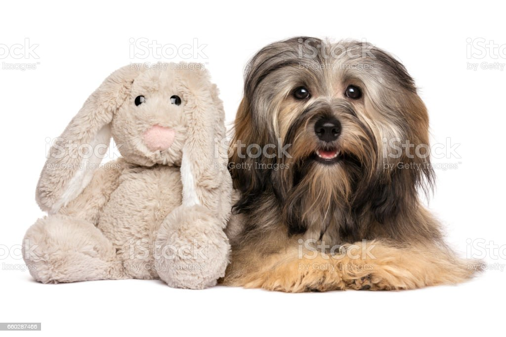 Cute Havanese dog with a rabbit plush toy stock photo