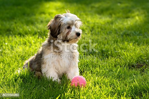 istock Cute havanese puppy in the grass with a pink ball 802094080
