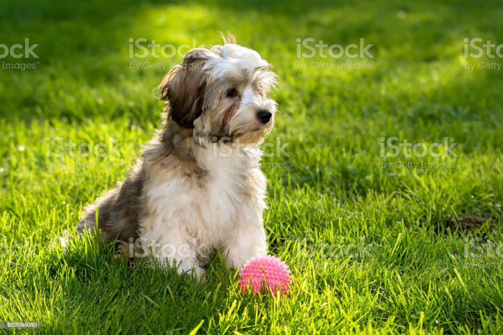 Cute havanese puppy in the grass with a pink ball stock photo