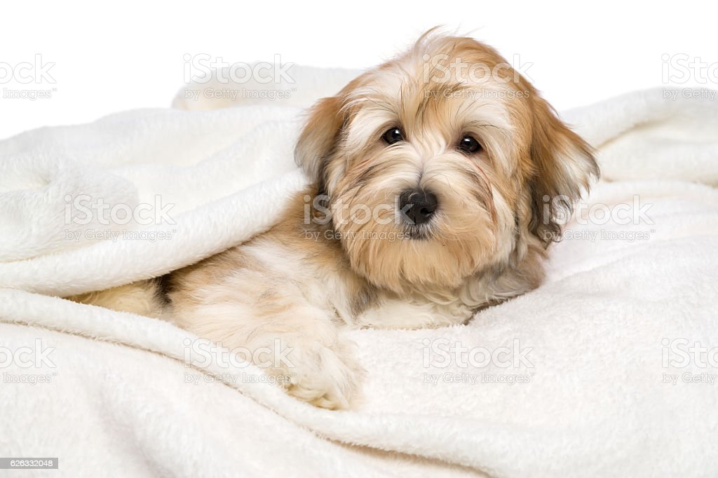 Cute Havanese puppy is lying on a white bedspread stock photo