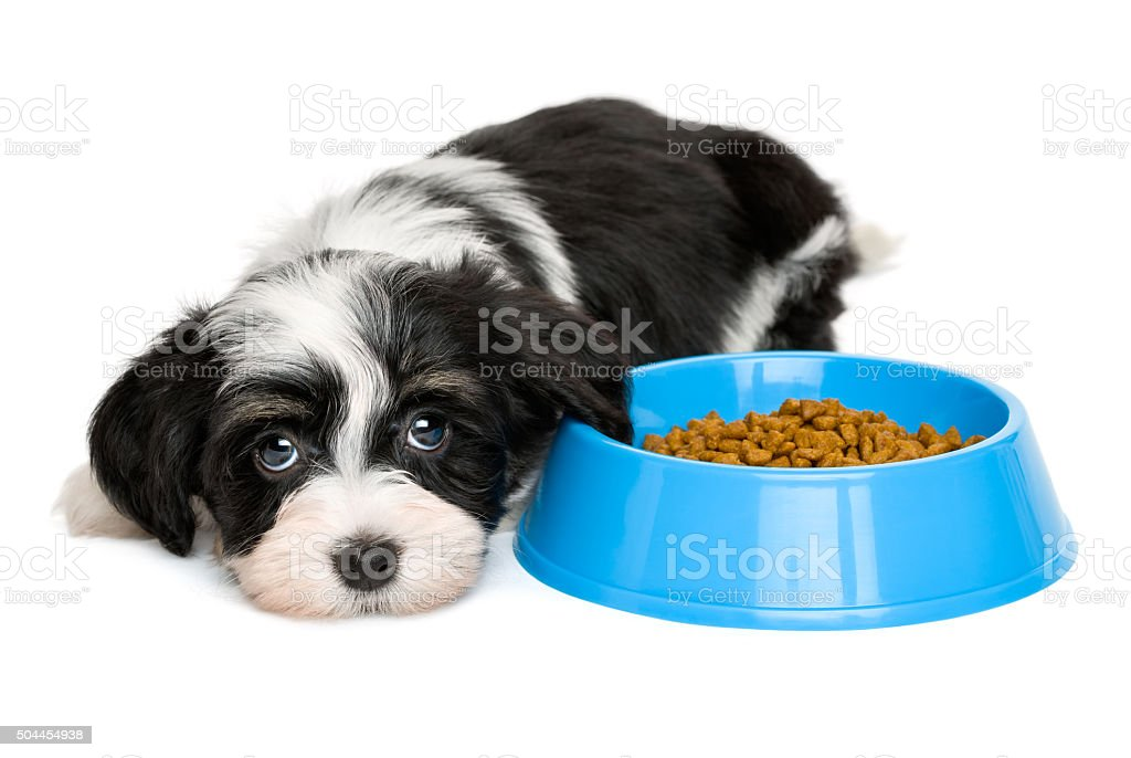 Cute Havanese puppy lying next to a blue food bowl Cute tricolor Bichon Havanese puppy dog is lying next to a blue bowl of dog food and looking at camera - isolated on white background Animal Stock Photo
