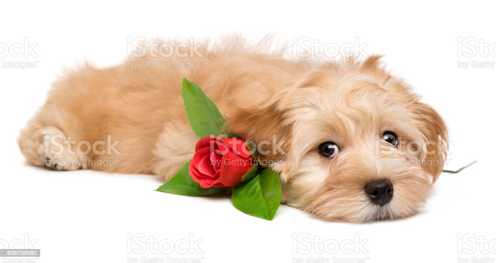 Cute havanese puppy lying with a red rose stock photo